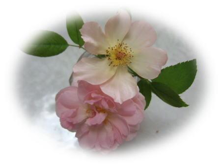 rosa2.jpg
